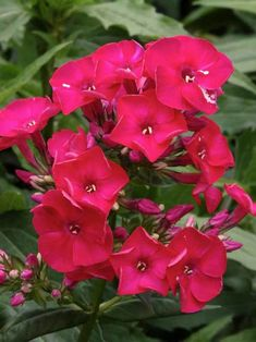 Phlox Flame™ Red -- Bluestone Perennials