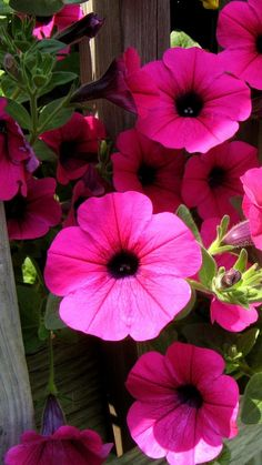 petunia, flowers, bright, colorful, sunny