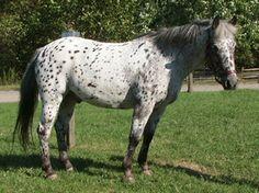 pony of the americas | Ponies of America (POA)