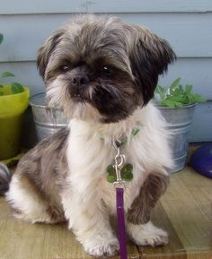Shih Tzu- I had my Shih-Tzu, Nikki, for 18 years. She was the best. So loving and gentle. I miss her.