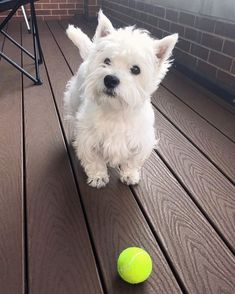 Westie Puppies, Baby Puppies, Baby Dogs, Westies, Cute Puppies, Doggies, Cute Dogs, Pretty Animals, Animals Beautiful