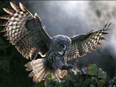 Framed Print - Owl Coming Into Land (Picture Poster Art Bird Of Prey Animal) Owl Photos, Owl Pictures, Free Pictures, Beautiful Owl, Animals Beautiful, Owl Bird, Pet Birds, Native American Astrology, Prey Animals