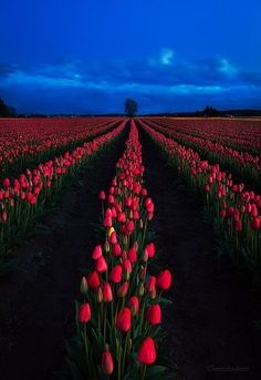 Skagit Valley tulips , Washington State.