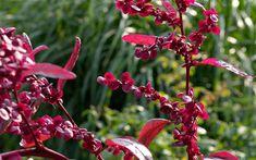 Red orach (Atriplex hortensis var. rubra) will feature at Chelsea Flower Show 2011. Rode Tuinmelde