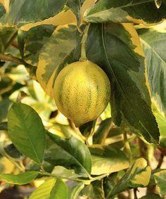 Loving this Variegated Lemon Tree on #zulily! #zulilyfinds