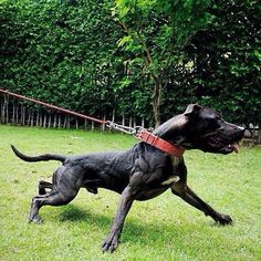 Super-buff American Pitbull Terrier