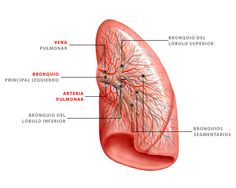 Ramificaciones de las arterias y venas pulmonares