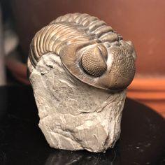 Amphibians, Reptiles, Sylvania Ohio, Large Animals, Prehistory, Extinct, Archaeology, Minerals, Paleo