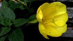https://flic.kr/p/EjjpFL | Flor amarilla