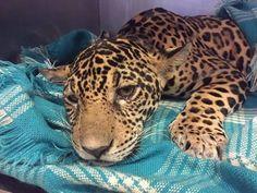 Little Jaguar Was Hiding Saddest Secret Inside Her Body