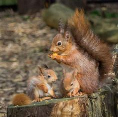 AMERICAN RED SQUIRREL.....aka the North American red squirrels, boomers, chickarees, pine squirrels, and fairydiddles....found across North America in the colder northern states and prefer living in pine forests....weighs 7-12 ounces and averages 12 inches long from nose to tail....the most common species of tree squirrels....about half the size of gray squirrels....during winter months grows tufts of fur on their ears