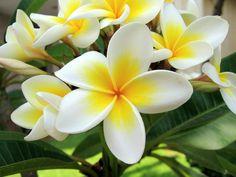 bunga-jepun[1] (700x525, 98Kb)