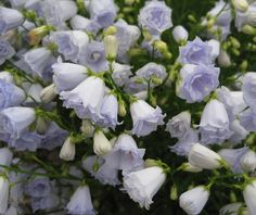 Campanula cochlearifolia 'Elizabeth Oliver' - plant of the month July 2013 - Plant Portraits - Alpine Garden Society