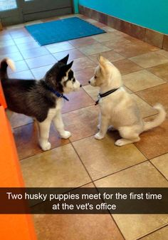 More About Bold Siberian Husky Puppies Health Animals And Pets, Baby Animals, Funny Animals, Cute Animals, Animal Memes, Cute Husky, Husky Puppy, Cute Puppies, Cute Dogs