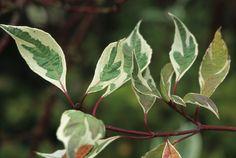 View Plant | Great Plant Picks