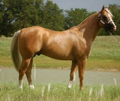 """Pinner says-I would love a palomino colt or buckskin out of this stallion """"Frenchmans Fabulous"""" Palomino, Pretty Horses, Beautiful Horses, Beautiful Babies, American Quarter Horse, Quarter Horses, Barrel Horse, Horse World, White Horses"""