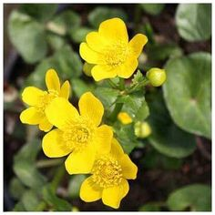 CALTHA PALUSTRIS (Marsh Marigold - plant) Spring is coming - the yellow daffodils are out and the pond will soon awaken with yellow Marsh Marigold to brighten the pond shelves. Bog Plants, Water Plants, Native Plants, Bog Garden, Water Garden, Garden Ponds, Marsh Marigold, C & A, Natural Pond