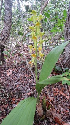 Catasetum gardneri,