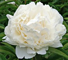 """Paeonia Bowl of Cream, $31.95 at White Flower Farm. This midseason herbaceous peony's hardiness zone is 3-7S; 3-8W. Height 31""""; deer resistant; full sun; blooms in June; spacing 24-30"""". """"Fragrant, pure-white double flowers measuring up to 8"""" across ... Glorious in bouquets, Bowl of Cream is a Gold Medal winner."""" Likes full sun and neutral to sweet soil. (Southerners should seek out early bloomers and provide afternoon shade.) Shrugs off cold. Cut flowers last more than a week if cut in full…"""