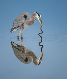 great blue heron Join us >The world of birds Pretty Birds, Love Birds, Beautiful Birds, Beautiful Things, Exotic Birds, Colorful Birds, Blue Heron, Bird Pictures, Birds Of Prey