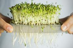 Tiny plants like sprouts, microgreens, and baby greens pack a nutritional punch that few other plants can rival. Growing Sprouts, Growing Microgreens, Hydroponic Growing, Growing Plants, Hydroponics, Growing Veggies, Hydroponic Gardening, Vegetable Gardening, Garden Web