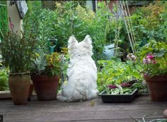 Westie gazing at the garden....that is such a typical Westie, leaning to one side when they sit.
