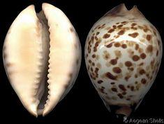 Zoila perlae  López, Al S.J. & C.S. Chiang, 1975  Mrs Chiang's Cowry  Shell size  40 - 70 mm  NW Australia
