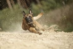Belgin Malinois .... a favorite K9 for police departments.  You do NOT want this one coming behind you .... at any speed!