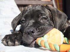 Cane Corso puppies, and other dogs that look like guards, should be taught to refuse food from strangers.
