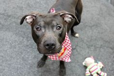 TO BE DESTROYED 07/31/16**AVERAGE RATED!**A volunteer writes: Wiggle, wiggle, wiggle, wag, wag, wag. Little George is open for business! 1.5 year-old George, a Tootsie roll on four legs, is sweet, silly, and a tiny bit shy. On our first meeting George is initially nervous and reluctant to leave his kennel for our walk despite wag, wag, wagging throughout it all. But after a few kind words and a few delicious treats George is ready to go! Well, almost ready. The shelter's halls prove a bit…