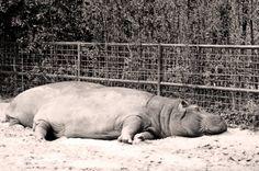 #charentemaritime #zoo #lapalmyre #hippopotame