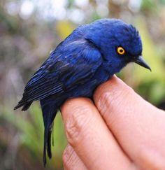 Deep-blue Flowerpiercer, Diglossa glauca: Colombia, Ecuador, Peru, Bolivia
