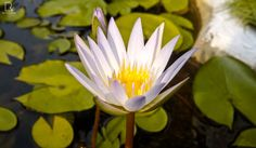 White Lotus by Renjith Vijay on 500px