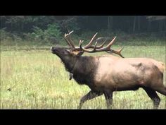 Elk Bugles in Cataloochee Valley, Great Smoky Mountains