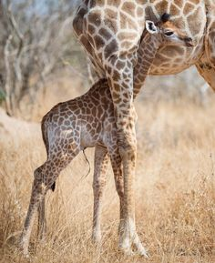 """Rudi Hulshof (@rudihulshof) on Instagram: """"And then there was this #giraffe who was born sometime last week trying to suckle from mom. Seeing…"""""""