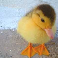 This little duckie is so sweet. Would love to cuddle him.