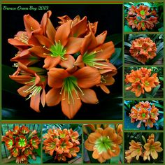 Best Bronze Clivia flowers of 2013