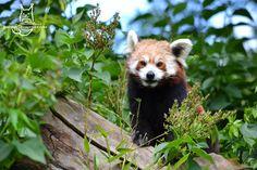 Red panda by Allerlei on DeviantArt Red Panda, Vulnerability, Fox, Deviantart, Animals, Animales, Animaux, Red Pandas, Animal