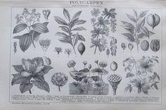 1895 POLYCARPEN BOTANIK Original Alter Druck