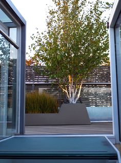 #Himalayan #Silver #Birch #multi-stemmed in a #container on a #roof #terrace with Libertia grasses and lighting