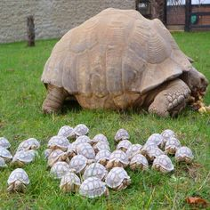 An Army of Baby Tortoises Following Mommy...