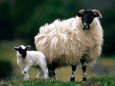İskoç Anne koyun ve onu kuzusu