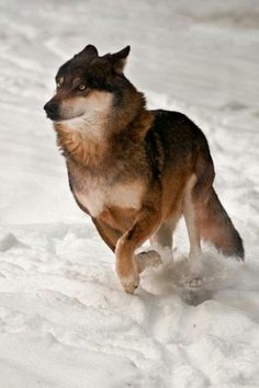 One playful wolf having fun running in the snow.