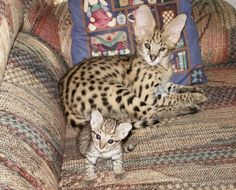 Serval Cats - African Serval Cat Care, and Serval Cats as Pets, Wild Cats African Serval Cat, African Cats, Serval Cats, Baby Cats, Cats And Kittens, Baby Animals, Funny Animals, Cute Animals, Cats Meowing