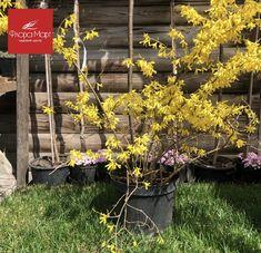 """Весной, как только слегка пригреет солнце, в садах и парках """"просыпается"""" одно из самых прелестных растений – форзиция. На безлистных побегах этой азиатской красавицы появляются золотистые цветки-колокольчики. После окончания цветения кустарник """"одевается"""" в светло-зеленую листву, которая осенью приобретает золотистую или багряно-фиолетовую окраску. Это ли не чудо, когда на растении цветочки распускаются раньше, чем листья?😍🌺🌳 Flora, Garden, Plants, Garten, Gardens, Planters, Tuin, Plant, Planting"""