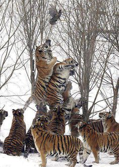 How many tigers does it take to get a bird...