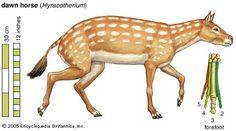 Hyracotherium - dawn horse   fossil equine   Britannica.com