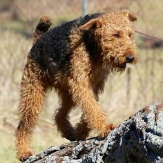 hup, two, three - Airedale Terrier