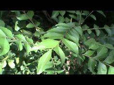 കറിവേപ്പില കുറ്റിചെടിയായി വളർത്താം Curry Leaf Cultivation Tips