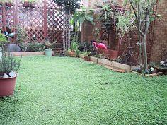 Dichondra lawn!